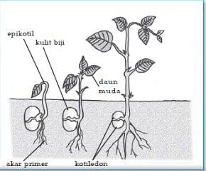 Hasil gambar untuk embrio tumbuhan