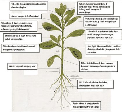 gambar hormon tumbuhan