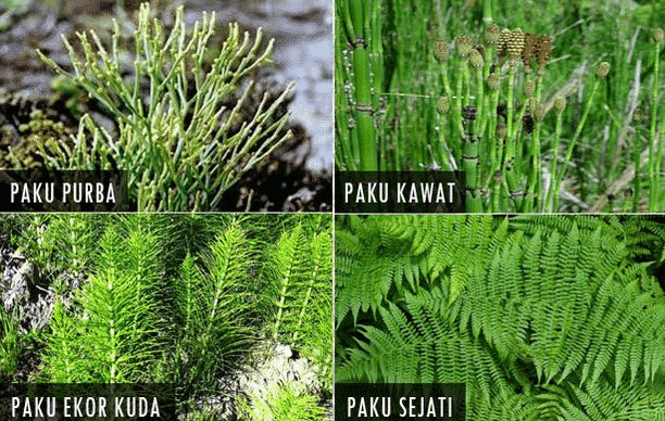 gambar jenis-jenis tumbuhan paku