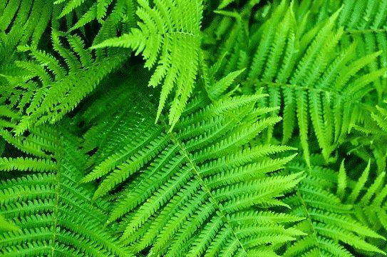 gambar tumbuhan paku