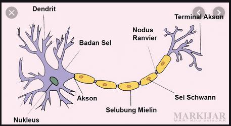 Pengertian Sel Saraf (Neuron) : Struktur, Fungsi dan Jenisnya