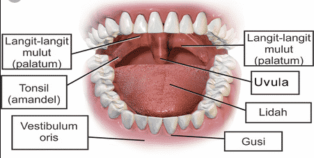 Fungsi-Mulut-Manusia-:-Pengertian,-Fungsi,-Bagian-dan-Gangguan-Mulut