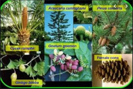 Spermatophyta (Tumbuhan Berbiji) : Pengertian, ciri, Klasifikasi