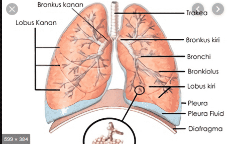 Memahami Fungsi dan juga Gangguan Diafragma