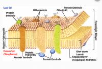 Membran sel: pengertian,fungsi dan sifatnya