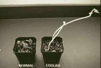 Pengertian-Etiolasi-:-Penyebab,-Gejala,-Akibat-dan-juga-Cara-Pencegahan
