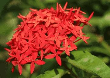 Bunga-Asoka-:-Ciri,-Gambar,-Ciri,-Manfaat-dan-Cara-Menanamnya