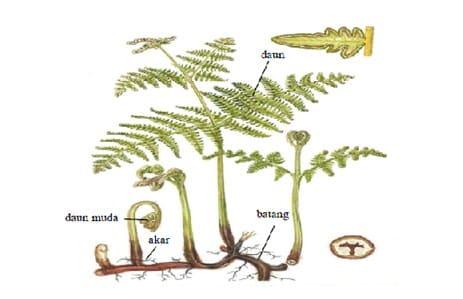 Morfologi Tumbuhan Paku (Pteridophyta)