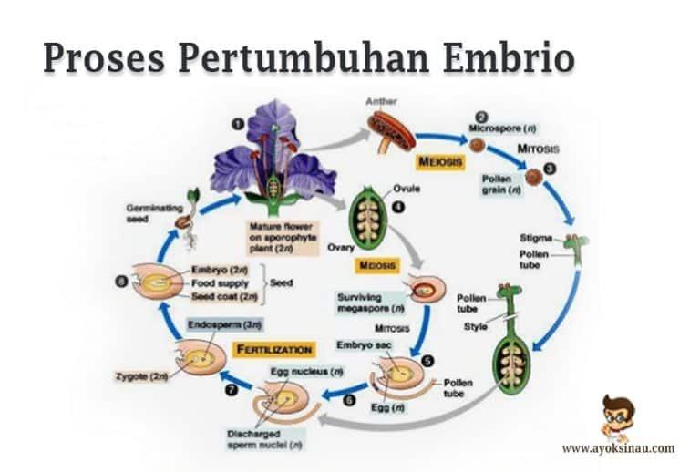 /proses-pertumbuhan-embrio