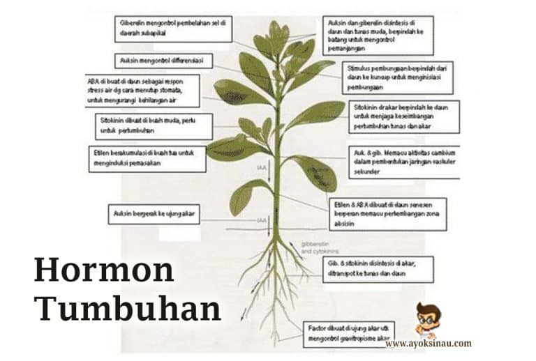 hormon-tumbuhan