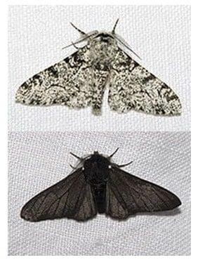 kupu-kupu biston betularia