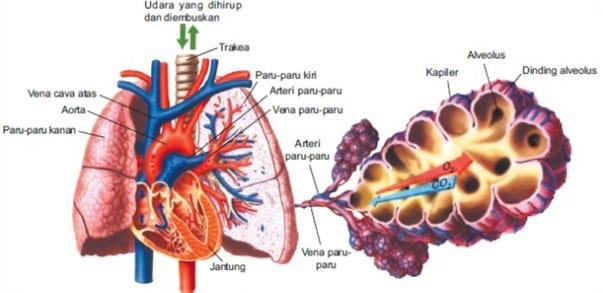 Mekanisme Pertukaran Dari Alveolus