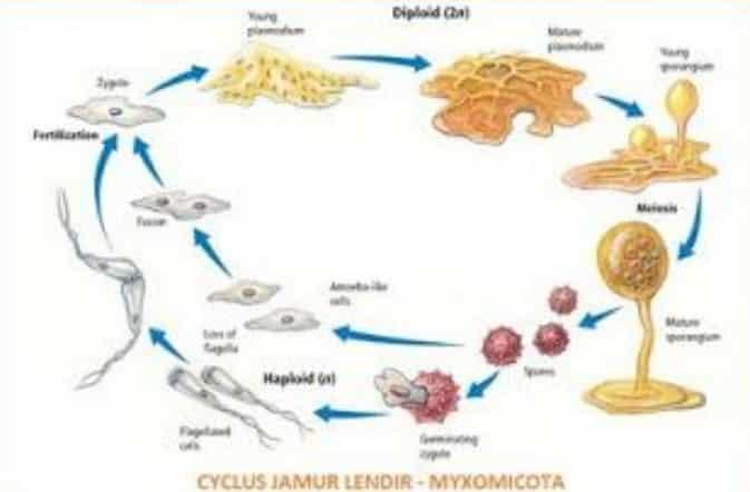 Myxomycota