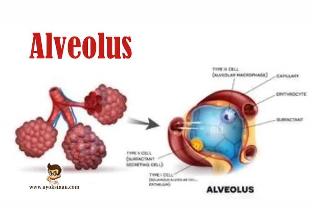 Pengertian-Alveolus