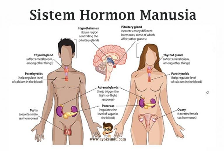 Pengertian-dan-Macam-Hormon-Manusia
