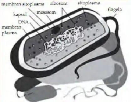 Struktur Sel dari Kingdom Monera