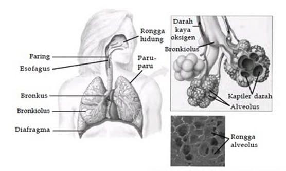 Struktur dan Letak Alveolus