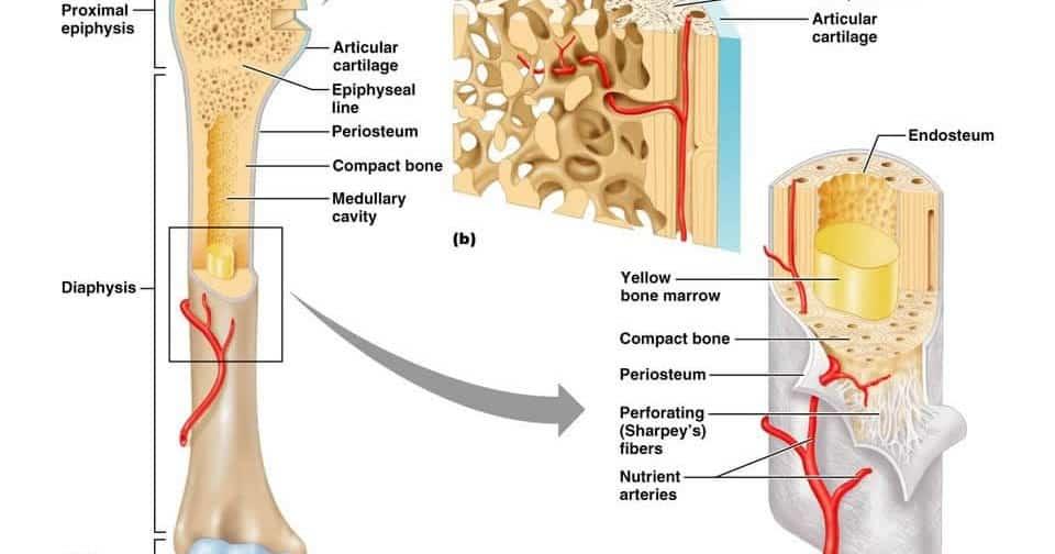 Tulang spongiosa