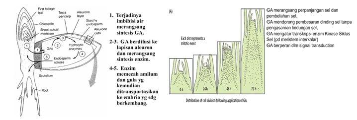 Kerja Hormon Giberelin
