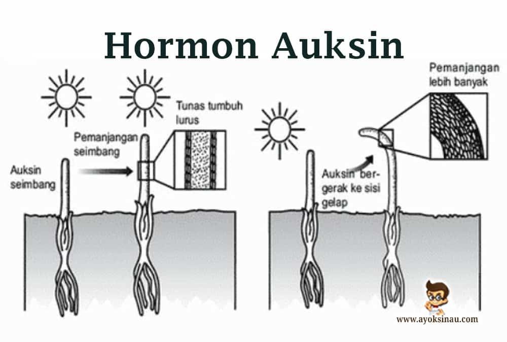 Pengertian-Hormon-Auksin