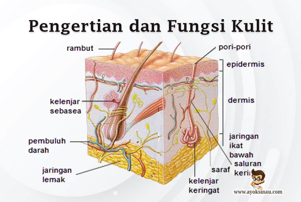 fungsi-kulit