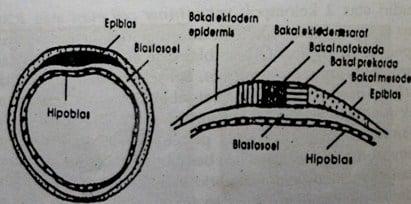 Bakal pembentuk alat blastula mamalia
