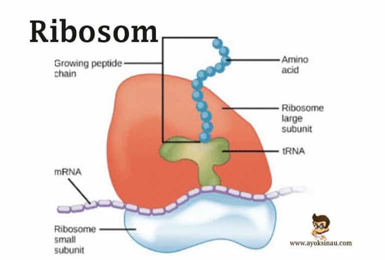 Pengertian-Ribosom